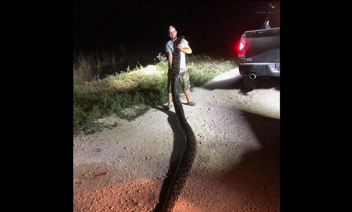 Enorme serpiente pitón es captura en el área de Miami-Dade