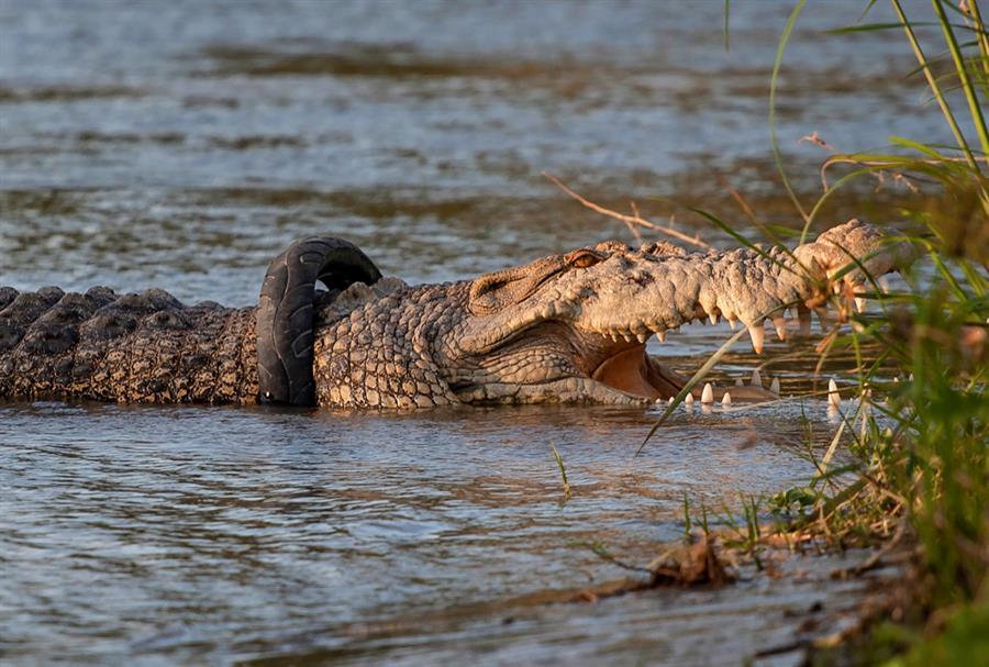 Ofrecen recompensa por quitarle neumático del cuello a un cocodrilo en Indonesia